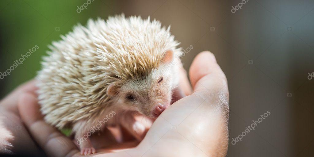 nice and cute sleepy African pygmy hedgehog rolled up in his han