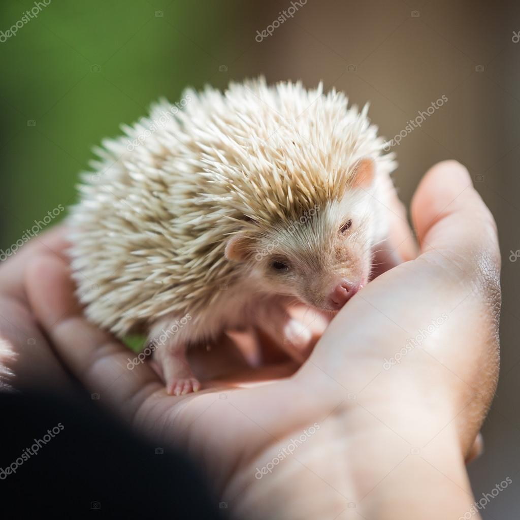 nice and cute sleepy African pygmy hedgehog rolled up in his han