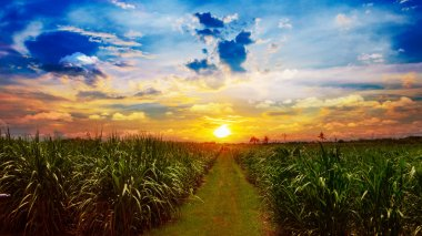 Sugarcane field in sunset sky and white cloud in Thailand
