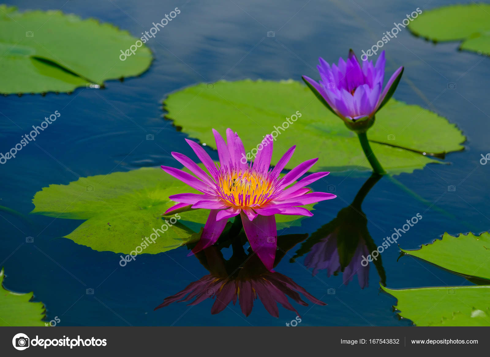 This beautiful waterlily or lotus flower is complimented by the ...