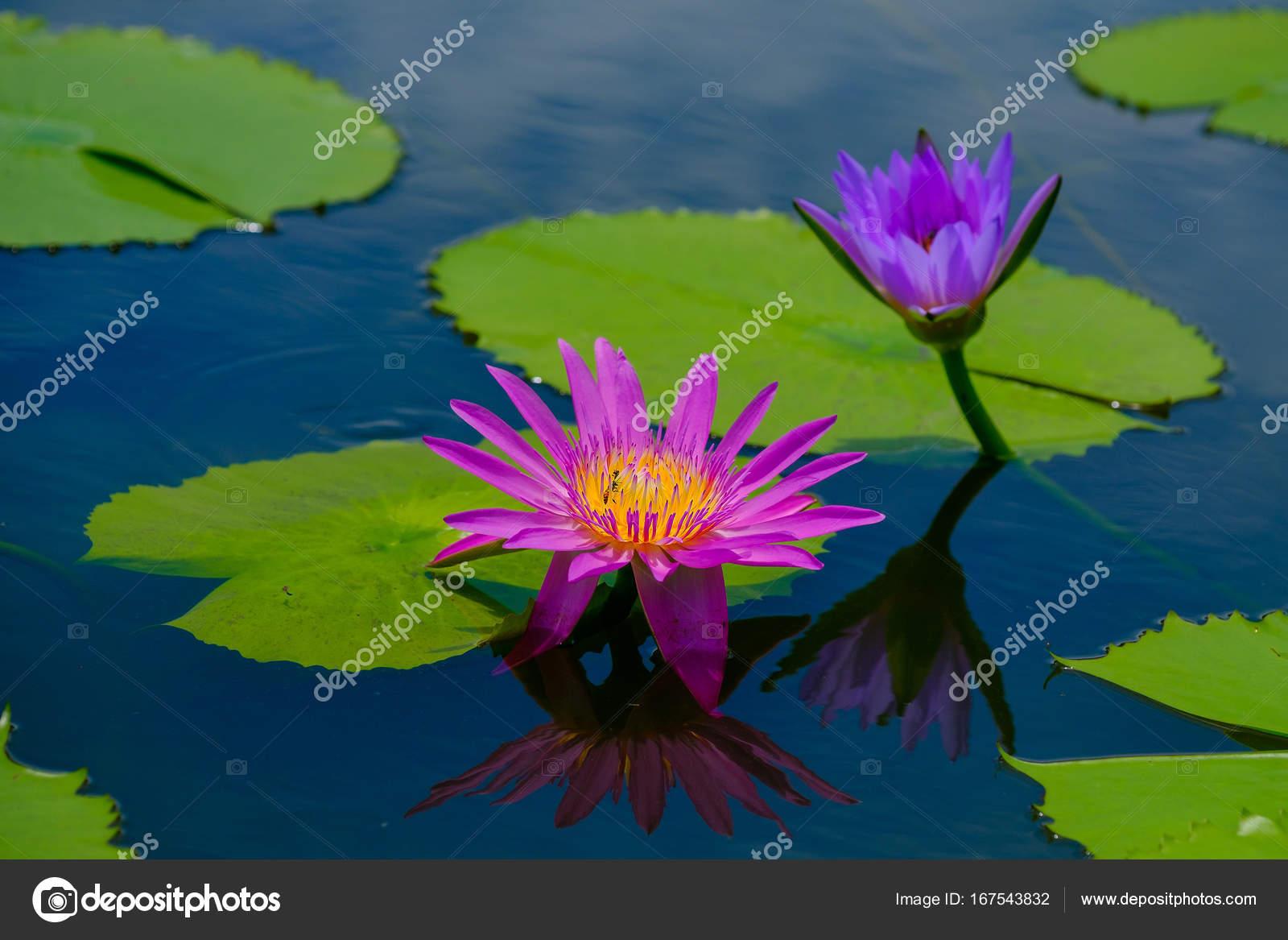 This beautiful waterlily or lotus flower is complimented by the this beautiful waterlily or lotus flower is complimented by the rich colors photo by subinpumsom izmirmasajfo