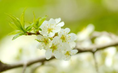 blossoming plum in the spring garden