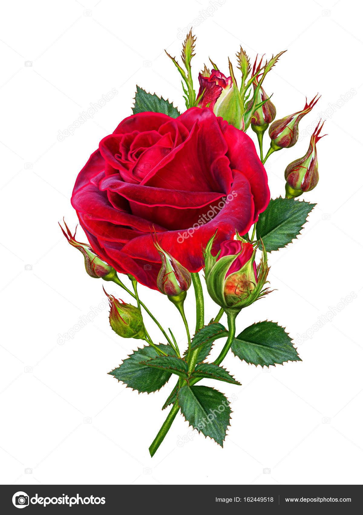 Unas Rosas Rojas Bonitas Composición De La Flor Un Capullo De Una
