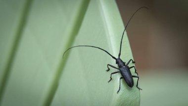 Close up of Pine Sawyer Beetle - (Ergates spiculatus).