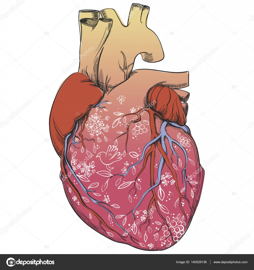 Heart Anatomy Picture Stock Vector Cofeee 140529136
