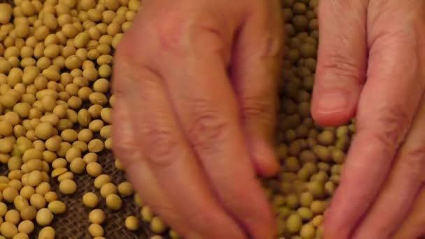 Sójové fazole ručně, semena potravinářská surovina, lahodné pokrmy sójových bobů