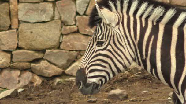Portrait of a Burchells zebra (Equus quagga burchellii)