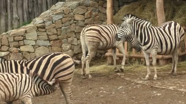 Burchells Zebra family group (Equus quagga burchellii)