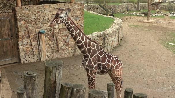 Recés zsiráf (Giraffa camelopardalis reticulata), is ismert, mint a szomáliai zsiráf.