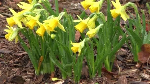 Narcissus pseudonarcissus; Žlutá, kvetoucí jarní květiny