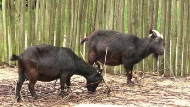 Black Pygmy goat (Capra aegagrus hircus)