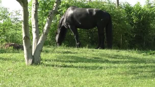 Fríské koně v poli