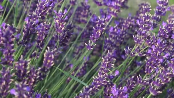 Lavender flower on the field. Beautiful lavender flowers shrub in garden close up view
