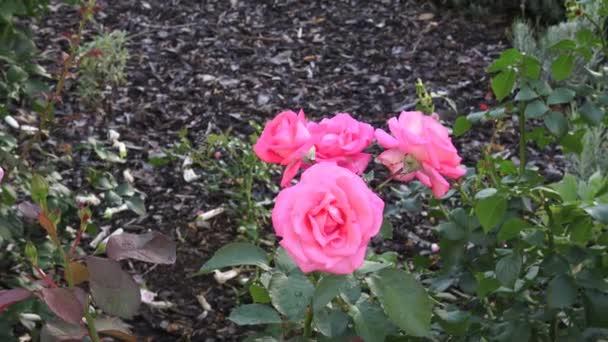 Růžové růže v zahradě. Růžové růže v parku