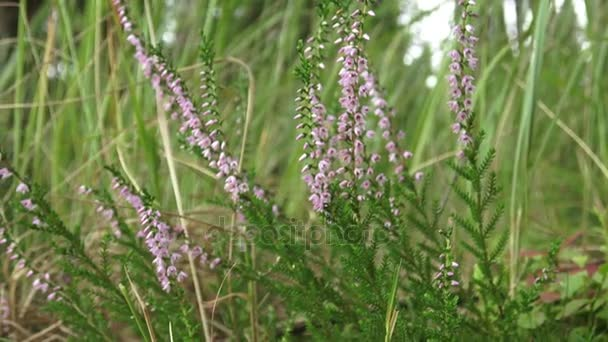 Vibrant pink common heather (Calluna vulgaris) blossoming outdoors. Blooming heather in the summer forest.