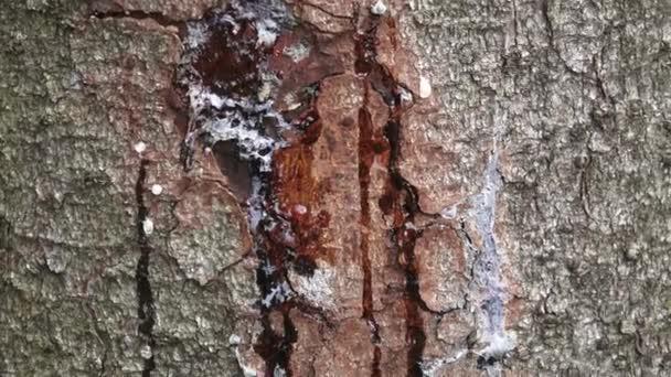 Harz auf Kiefernstamm, horizontaler Schuss. abgestreifte Rinde am Stamm einer Kiefer. der Baum heilt die Wunde und setzt Harz frei.