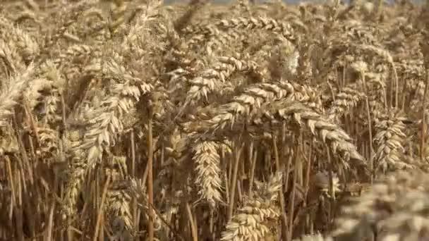 Pole žita. Žluté pole žita, koncepce zblízka. Připraven na sklizeň rostoucí v oblasti hospodářství žluté obilí