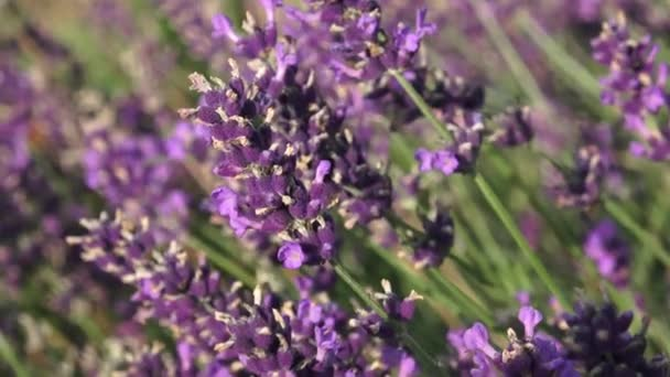 Purple lavender flowers in the field. Beautiful violet wild lavender backdrop meadow close up.