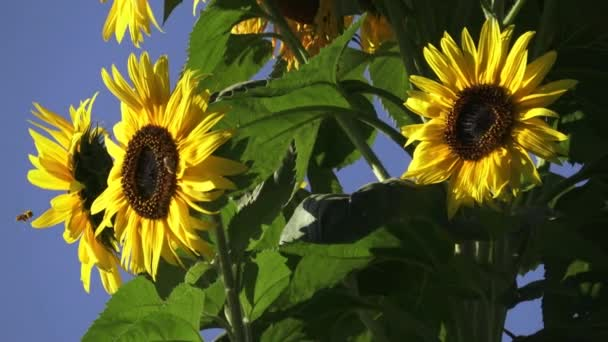 Close-up of sun flower against a blue sky. Beautiful sunflowers blossom against blue sky.