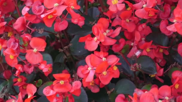 Resultado de imagen de begonia flor