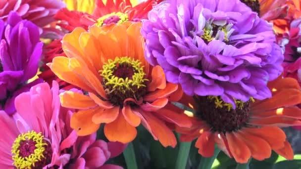 Světlé kytice multi barevné květy cínie. Cínie kytice jen řezaných květin