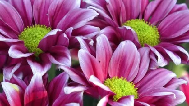 Fiori del crisantemo bella. Colpo del primo piano del fiore del crisantemo