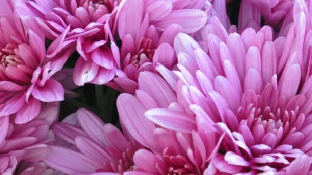 Beautiful chrysanthemum flowers. Closeup shot of blooming chrysanthemum flower.