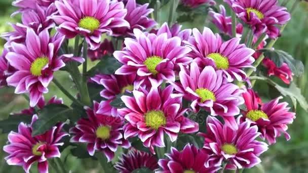 Krásný chrysanthemum květiny. Detailní záběr kvetoucích chryzantémách.