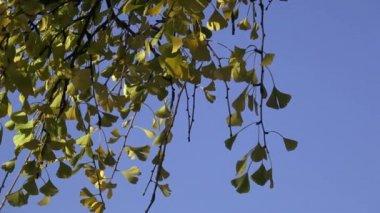 Tree leaves in autumn (Ginkgo biloba)