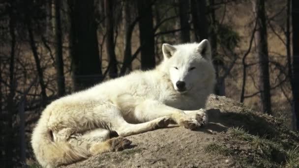 A sarki Farkas (Canis lupus arctos), más néven a Melville-szigeti Farkas. A többi Farkas.