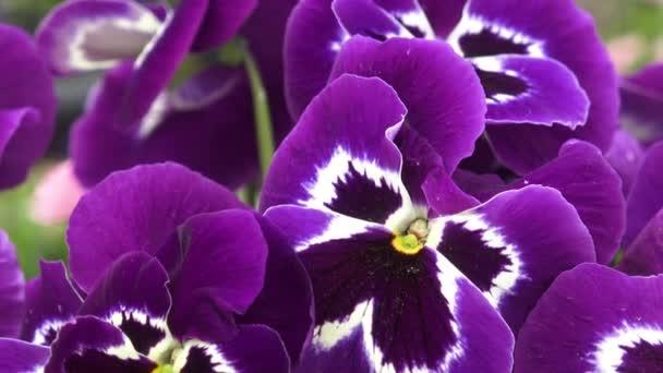 Detailní záběr z nějaké fialové maceška (Viola x wittrockiana) květiny v zahradě pohybují ve větru