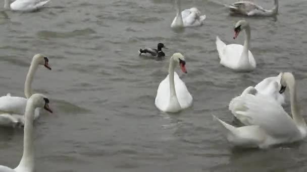Schwäne schweben. weiße Schwäne. Wasservogelarten.