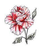 Gyönyörű Hibiszkusz virág