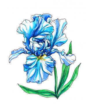 Iris flower for wedding printing products: cards, invitations, menu. Pastel color hand drawn  flower on white background. Botanical illustration. stock vector