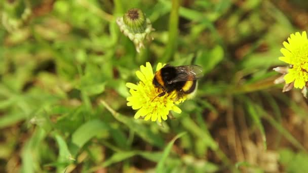 Čmelák sběr pylu