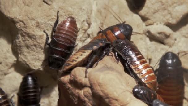Kolonie švábů Madagascan sedící na skále