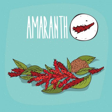 Set of isolated plant Amaranth flowers herb