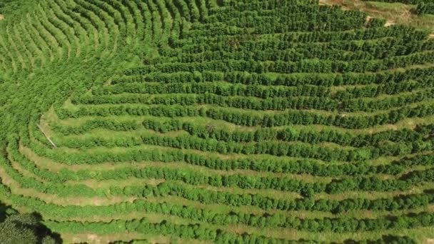 Kávové plantáže v slunečný den v Brazílii. Kávovník