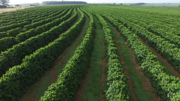 Aerial coffee plantation in Sao Paulo State - Brasil ...