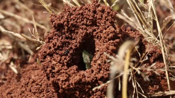 Ants crawling on an anthill.