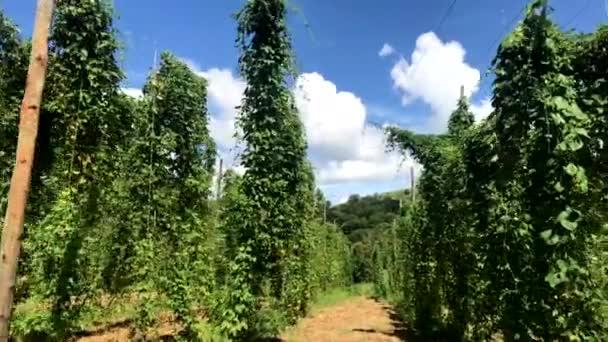 Brazilské Hop pole rostlina rostoucí na Hop farm, plantáže hop. Čerstvé a zralé chmel připravené ke sklizni. Složkou výroby piva