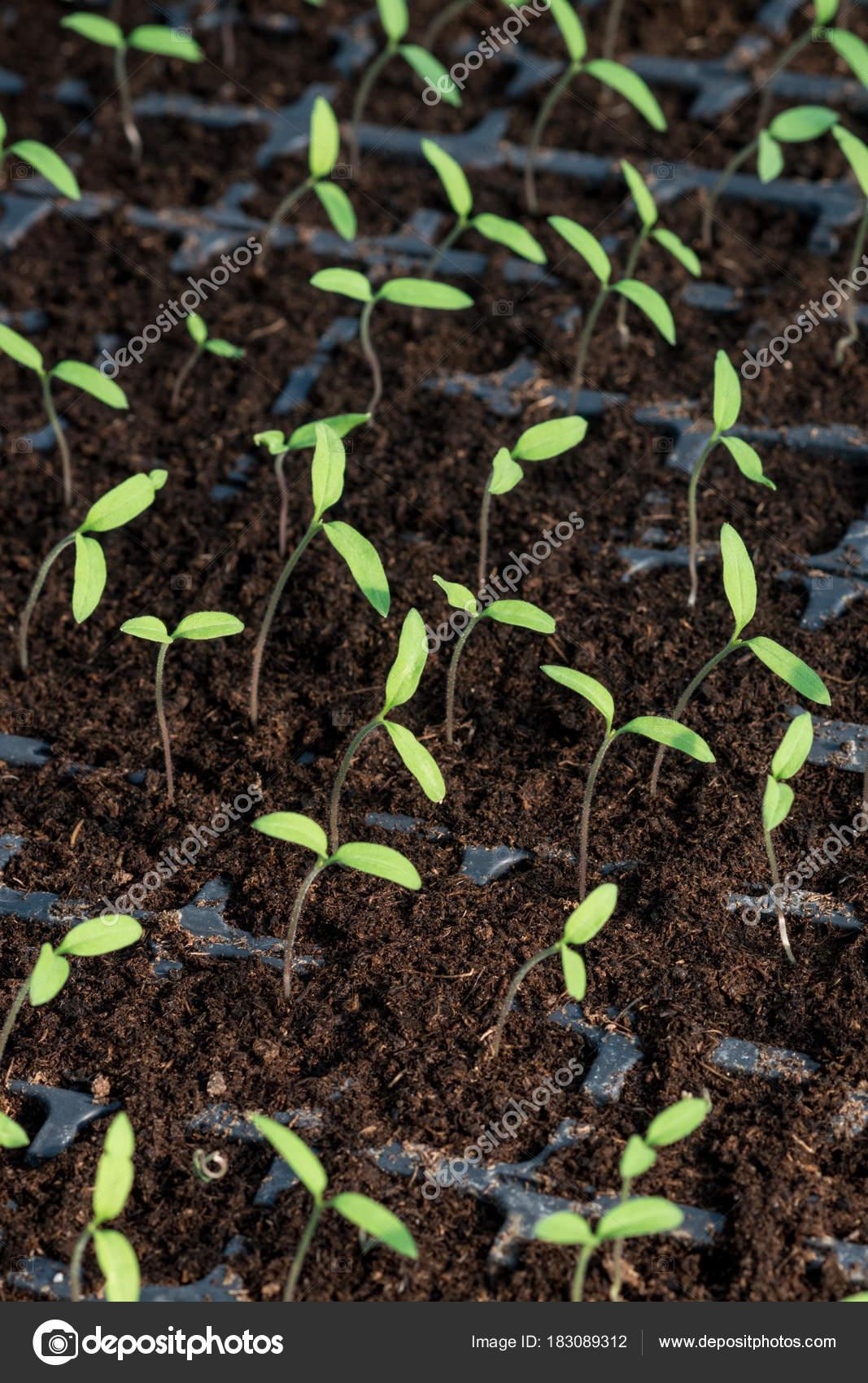 若いトマトの芽は、温室で栽培し...