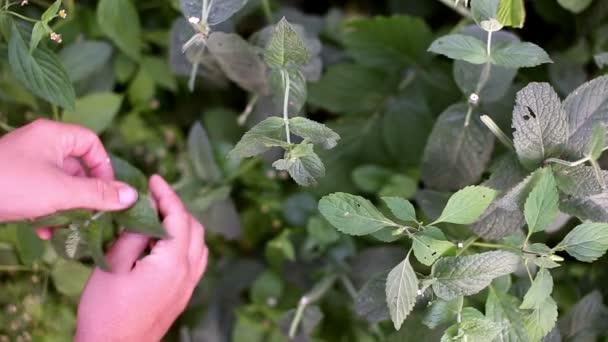 Výdeje peppermint listy z rostlin máty