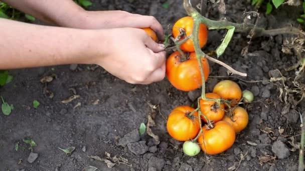 Žena sbíráme zralé organické čerstvá žlutá rajčata z rostliny