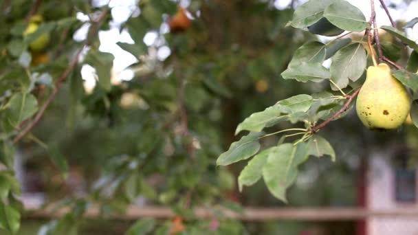 Zralé čerstvé bio hrušky na stromě v zahradě místní