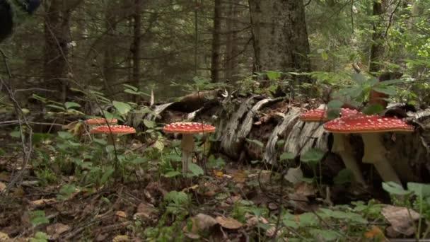 Légyölő galóca gomba őszi erdő