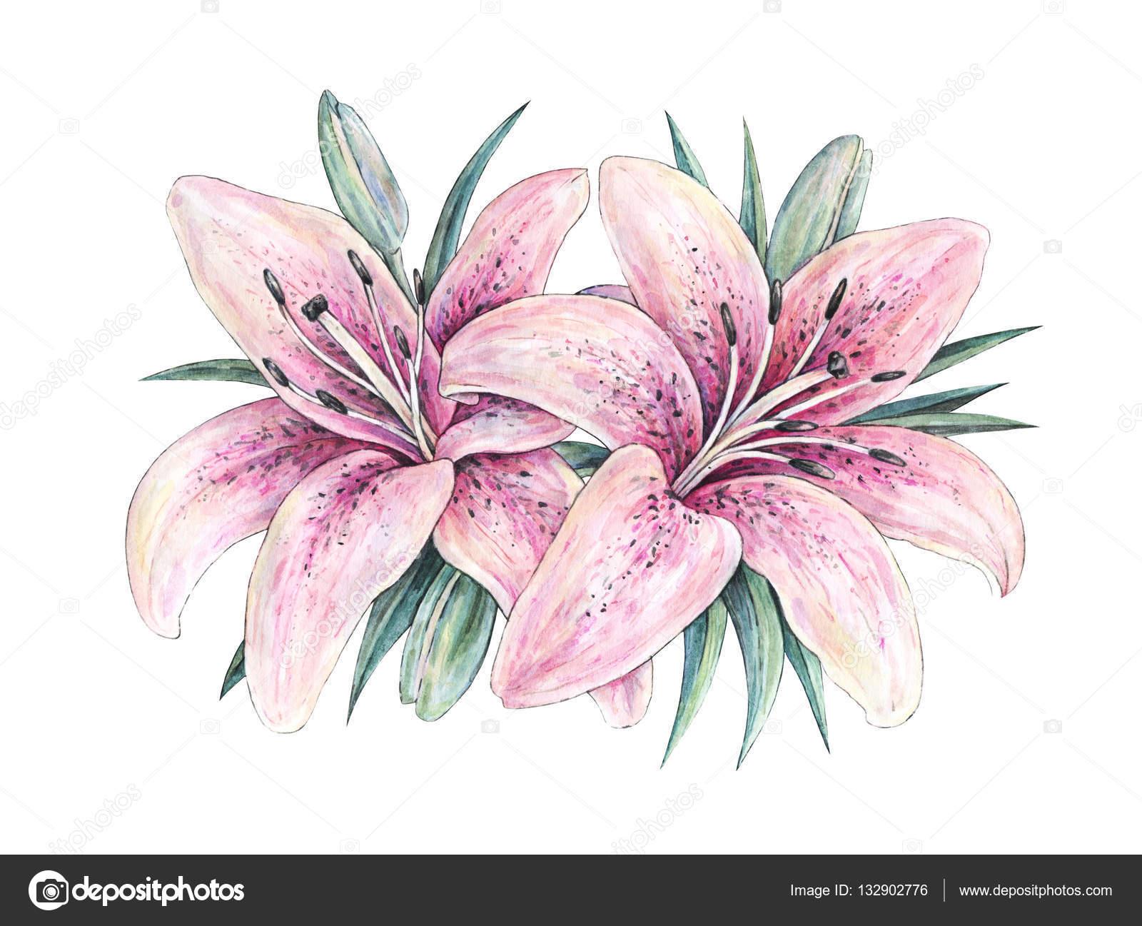 Fleurs De Lis Rose Isoles Sur Fond Blanc Illustration De L