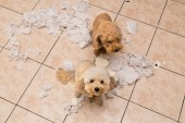 Fotografie Naughty dog destroyed tissue roll into pieces when home alone