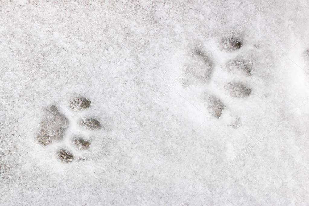 two feline footprints in the snow