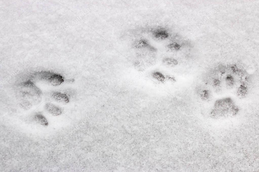 three cat footprints in the snow